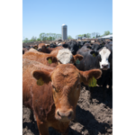 Minnesota beef makes up 27 percent of the state's livestock receipts—$2 billion annually—and is 10th in the nation. (Courtesy of University of Minnesota Extension)