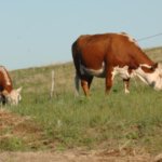 Cattle producers are urged to take precautions to minimize the heat stress placed on cattle. (Courtesy of University of Nebraska-Extension)