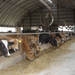 One of the most critical aspects of a productive dairy farm is the design and setup of the buildings. (Courtesy of ISU Extension and Outreach)