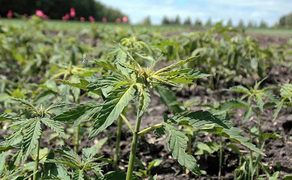 Top stocks that could benefit from hemp rule | Morning Ag Clips