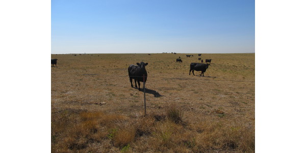 Cool temperatures and drought are causing forage shortages in some parts of North Dakota. (NDSU photo)