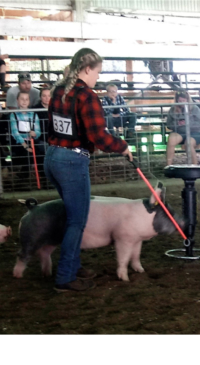 Allegany Co. Fair youth swine & livestock results