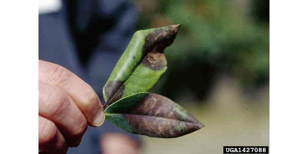 The Missouri Department of Agriculture, in coordination with USDA Animal and Plant Inspection Service, has detected ramorum blight on rhododendron plants shipped to some retail nurseries in Missouri. (Joseph OBrien, USDA Forest Service, Bugwood.org)