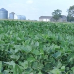 Soybeans grown in central Illinois may arrive in China despite challenges of trade tariffs, but China may not have a clear idea where they were grown. (Courtesy of Sue Nichols, Michigan State University Center for Systems Integration and Sustainability)