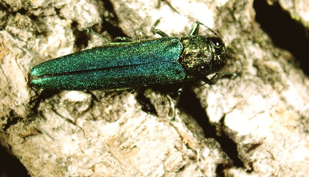 emerald ash borer (Delaware Agriculture, Flickr/Creative Commons; Courtesy USDA APHIS, Dr. James Zablotny)