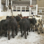 Since 1981 University of Missouri Extension, along with other partners, have provided the Missouri Steer Feedout as a low risk opportunity to see how your cattle compare to your neighbor's. (Courtesy of MU Extension)