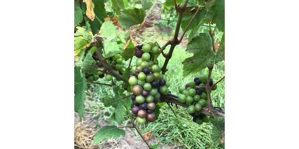 Join us at the Northwest Michigan Horticulture Research Center's research vineyard on Aug. 23, 2019, from 2-4 p.m. for a meeting on pre-harvest considerations and new developments for the center's viticulture research and Extension. (Photo by Thomas Todaro, MSU Extension)