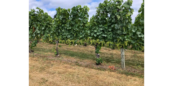 Photo 1. Pinot blanc cropped at roughly 4 tons per acre on Old Mission Peninsula. (Photo by Thomas Todaro, MSU Extension)
