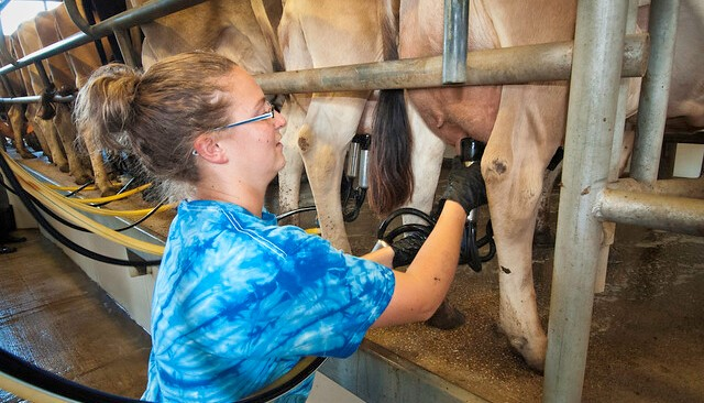 dairy milking cow (U.S. Department of Agriculture, Flickr/Creative Commons)