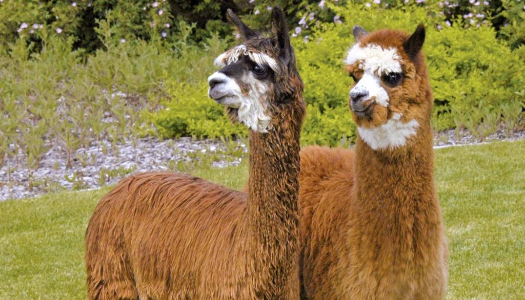 Celebrate National Alpaca Farm Days