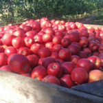 The predicted harvest dates are now available at all locations on theMichigan State University Enviroweatherwebsite. (Photo by Amy Irish-Brown, MSU Extension)