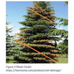 If the discoloration and shedding of needles occurs in a spiral pattern up the tree, there is a good chance the premature needle drop is the result of root damage. (Photo credit: