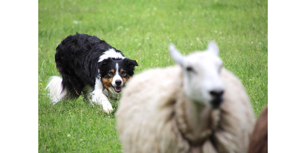 Come watch the country's wisest dogs and wiliest handlers compete for the coveted Midwest Sheepdog Championship at Badlands Sno-Park outside of Hudson, WI. (Courtesy of Wisconsin Working Stock Dog Association)