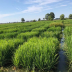 SoutheastDepartment of Agriculture faculty will be on hand to highlight this work at the Missouri Rice Council's (MRC) annual Rice Field Day Aug. 22 at the Missouri Rice Research Farm. (Courtesy of Southeast Missouri State University)