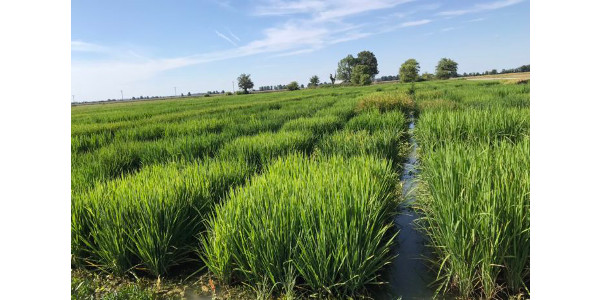 Southeast Department of Agriculture faculty will be on hand to highlight this work at the Missouri Rice Council's (MRC) annual Rice Field Day Aug. 22 at the Missouri Rice Research Farm. (Courtesy of Southeast Missouri State University)