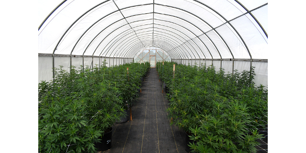 A test crop of industrial hemp grows in a high tunnel at Kansas State University's John C. Pair Horticulture Center in Haysville. (Courtesy of K-State Research and Extension)