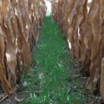 Cereal rye interseeded into corn at Lamberton. (Photo credit: Axel Garcia y Garcia)