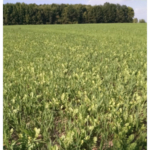 A growing oats and radish mix. (Photo by Paul Gross, MSU Extension)