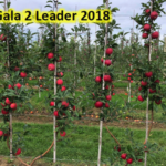Two-leader Gala apple trees. (Photo by Phil Schwallier, MSU Extension)