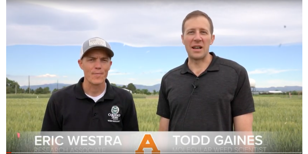"""""""The interesting thing about the CoAXium® Wheat Production System is that the idea came from the Colorado wheat growers themselves,"""" said Todd Gaines, a molecular weed scientist who, together with CSU weed scientist Phil Westra, helped develop CoAXium. While farmers had already been using an herbicide resistance system called Clearfield® – first released in 2001 in a CSU-developed wheat variety – they identified the need for diversity in weed management to stave off herbicide resistance issues. (screenshot from video)"""