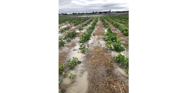 Strawberry harvests can be impacted by heavy rains as fruit develops. (Photo by Paul Bublitz)