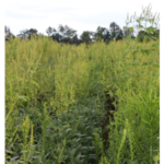 Look out for weed species that become dominant in fields, in this case marestail and giant ragweed, especially if they are noted to be herbicide-resistant in other areas within the region. (Photo by Bruce MacKellar, MSU Extension)