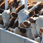 K-State agricultural economists have studied the feasibility of implementing an animal disease traceability program related to the potential benefits to the industry. (Courtesy of K-State Research and Extension)