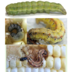The body surface of corn earworm is rough with small, black spines and dark spots. It varies in body color (brown, yellow, pink, green) and has prominent colorful striping. (Photo credits: C. DiFonzo, C. Bauer and M. Roth)