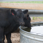 Each species of livestock reacts to heat differently. However, the common principle is to maintain good ventilation, provide shade and access to clean, cool water, and limit moving animals during the hottest hours of the day. (Courtesy of ISU Extension and Outreach)