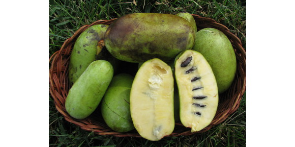 Each pawpaw fruit contains 10-14 seeds that are roughly the size of lima beans. (Photo credit: MU Extension)