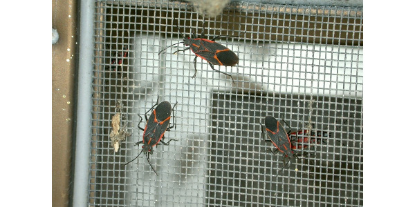 Figure 1: Boxelder bugs are very common home invaders; if screens are properly secured then they should not be able to gain access to the house. (Photo: Jim Kalisch, University of Nebraska-Lincoln Department of Entomology)