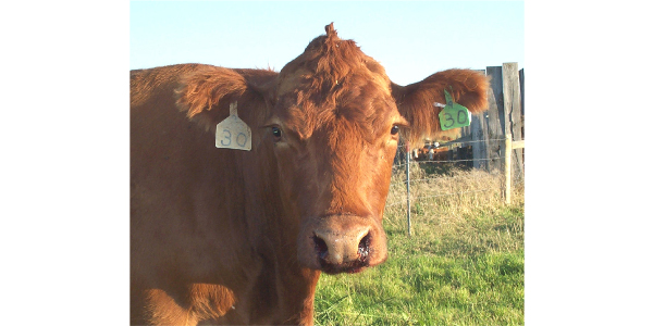 This animal is infected with anthrax. (Photo courtesy of the North Dakota Department of Agriculture)
