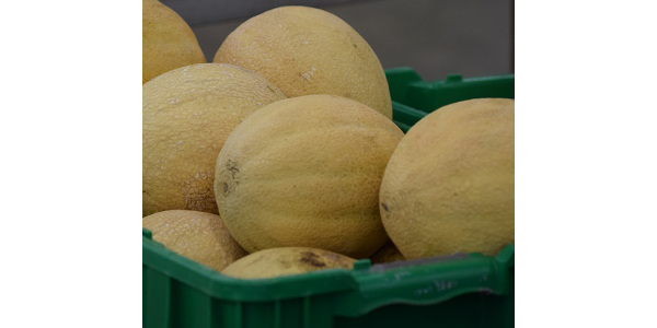 Melon quality — flavor, aroma, texture and sweetness — is best when the sugar content of the fruit is high. (Courtesy of ISU Extension and Outreach)