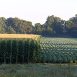 Thistle caterpillars, late season crop diseases and crop development will highlight the fall field day at Iowa State University's Northern Research and Demonstration FarmSept. 5. (Courtesy of ISU Extension and Outreach)