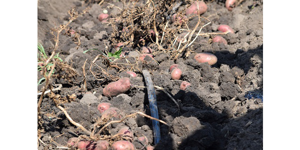 ISU Extension and Outreach horticulturists answer questions about harvesting and storing potatoes grown for fall and winter use. (Courtesy of ISU Extension and Outreach)