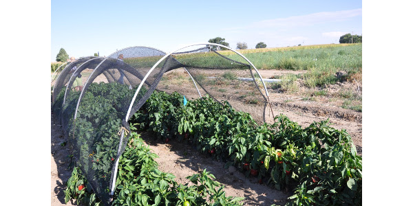 Shade barrier over peppers. (Courtesy of Carol O'Meara, CSU Extension Boulder County)