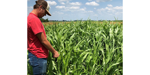 Sorghum-sudangrass, which will be shown at the Neely-Kinyon field day, can be used for prevented plantings, grazing and livestock feed. (Courtesy of ISU Extension and Outreach)