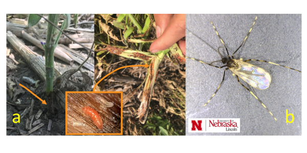 Figure 3. Darkened area at the base of a soybean plant (a) associated with soybean gall midge. Peeling back outer layer reveals large numbers of soybean gall midge larvae. In the orange border rectangle (inset) two earlier stages of soybean larvae appear white in color until 3rd instar when it turns to an orange color; and (b) Adult midge, approximately ¼ inch in length with an orange abdomen (not visible under the wings). A key characteristic is the black and white banding on its legs. (Photos: Justin McMechan)