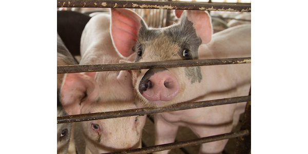 In the event of an African Swine Fever, Foot and Mouth Disease, or Classical Swine Fever outbreak in the United States, state and federal regulatory officials will restrict animal movement to slow or stop the spread of these foreign animal diseases. (Courtesy of ISU Extension and Outreach)