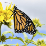 Landowners and families who want to learn more about planting monarch and pollinator habitat should consider attending a field day Aug. 26 near Creston. (Courtesy of ISU Extension and Outreach)
