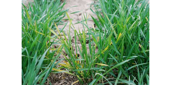 Wheat streak mosaic. (Photo by Erick DeWolf, K-State Research and Extension)
