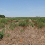 Kansas farmers, fresh off wheat harvest, may now need to turn their attention to weeds left in those same fields. (Courtesy of K-State Research and Extension)