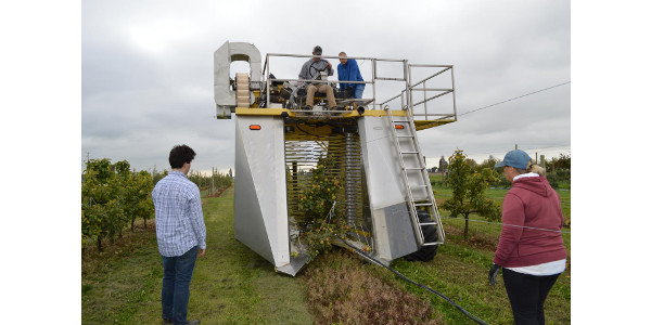 Over-the-row harvesting of 'Brown Snout' cider apples. (Courtesy of Travis Alexander and Whitney Garton)