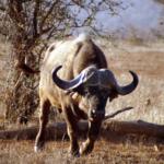 Water buffalo. (Rupert Taylor-Price via Flickr)