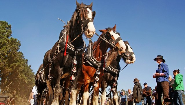 Preserving the past using horses, mules
