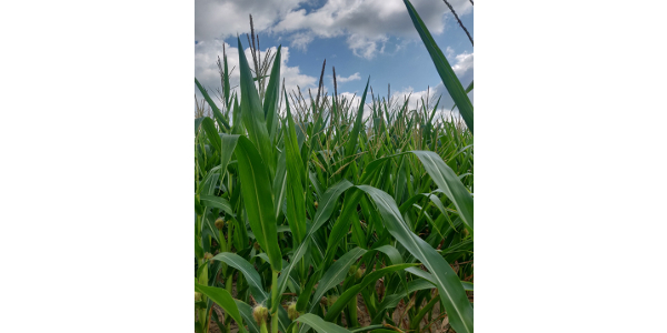 Michigan State University Extensionhas collated information from across the northern Corn Belt to assist producers with management guidelines for ensiling immature and frosted corn in this year of extremes. (Photo by Manni Singh, MSU)