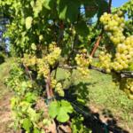 Photo 1. Riesling vineyard in northwest Michigan on Sept. 24, 2019. (Photo by Thomas Todaro, MSU Extension)