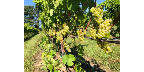 Photo 1. Riesling vineyard in northwest Michigan on Sept. 24, 2019. (Photo by Thomas Todaro, MSU Extension)