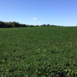 Some producers may want to harvest soybeans for forage this year. (Photo by Mike Staton, MSU Extension)