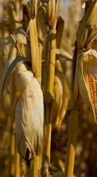 State corn grower leaders issue letter to Trump